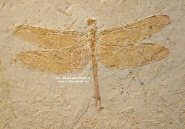 Fossils From The Past Cordulagomphus-tuberculatus-l  -  Cretaceous Dragonfly Fossil  World of Fossils